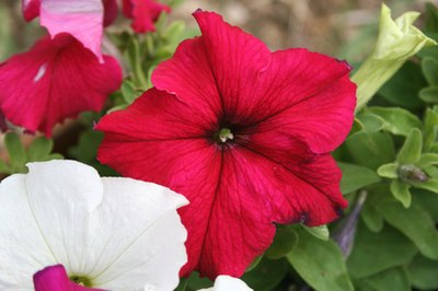 Healthy, fertilized petunias.