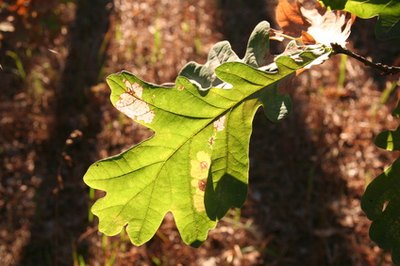 Proper leaf identification requires examining a leaf from base to apex.
