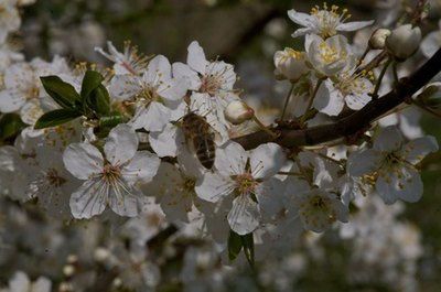 Choose an apple tree with mid-season blooming.