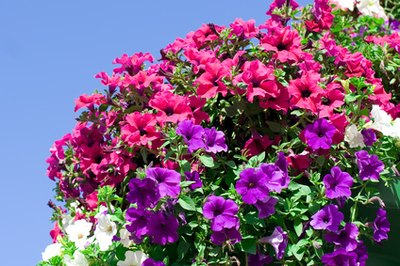 Abundant, well-fertilized petunias.