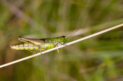 Migratory grasshoppers can wreak havoc on crops.