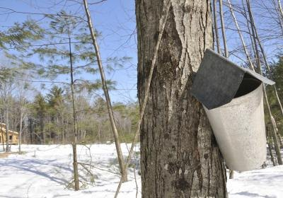 A tree sap collection bucket on a sugar maple tree in winter.