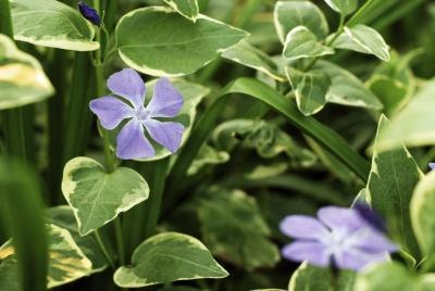 Big Lear Periwinkle also known as Vinca Major ground cover