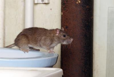 A common rat..