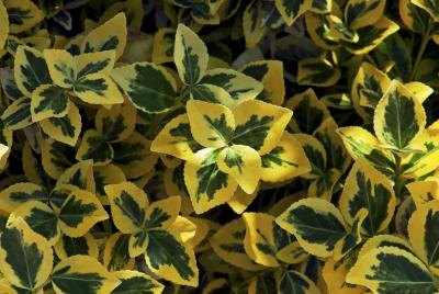 Euonymus fortunei, also known as Wintercreeper ground cover