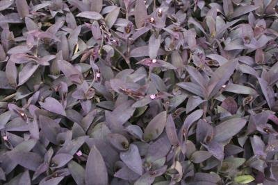 "Purple Heart also known a ""Wandering Jew"" ground cover"