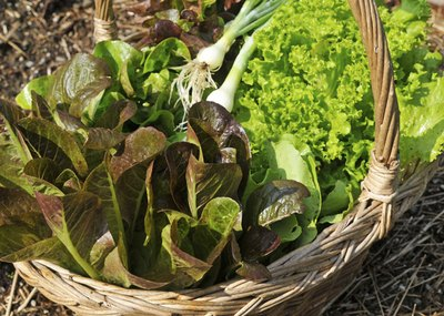 With so many different types of lettuce to grow, the hardest part will be to choose which ones to try in your garden.