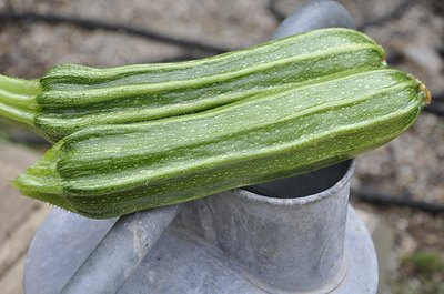 Zucchini from a home garden can be picked young when they are still crispy and tender.