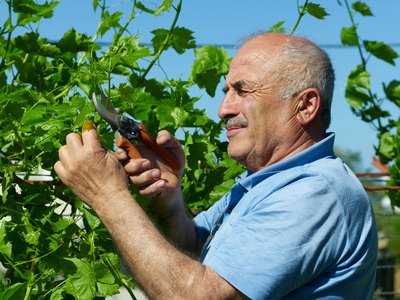 Senior man pruning grapes
