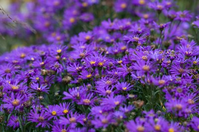 You can find asters blooming in October.