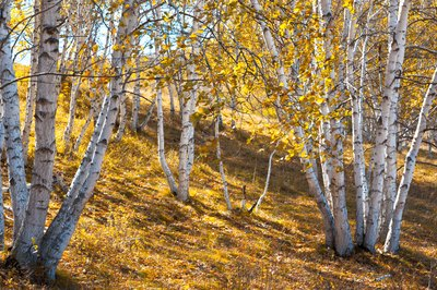 Clusters of silver birch on a sunny fall day.