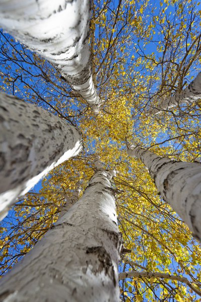 A view of silver birch trees from the ground looking up.