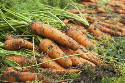 Row of harvested carrots