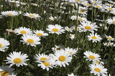 Field of shasta daisies