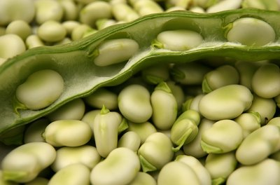 The broad bean is a cool weather crop.