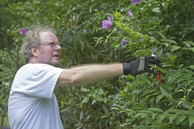 Close-up of a man trimming a Rose of Sharon hedge