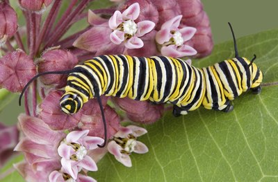 Monarch caterpillars survive solely on milkweed leaves.