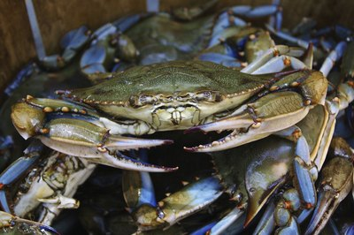 A bushel of Maryland blue crabs in a basket.