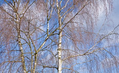 Drooping branches of weeping birch trees on a clear day.