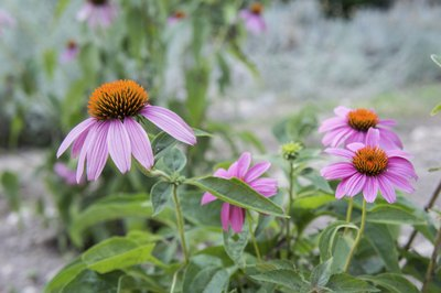 pale purple coneflowers