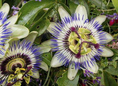 wild passion flowers