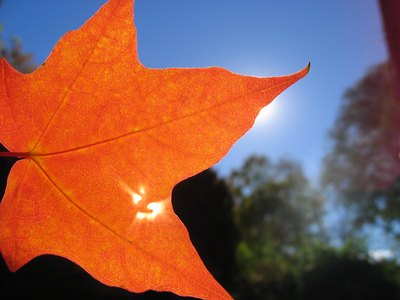 Autumn leaf covering sun
