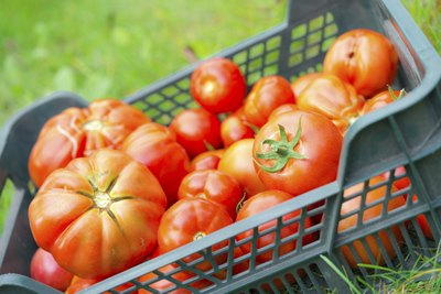 A variety of harvested garden tomatoes in a crate on the grass.