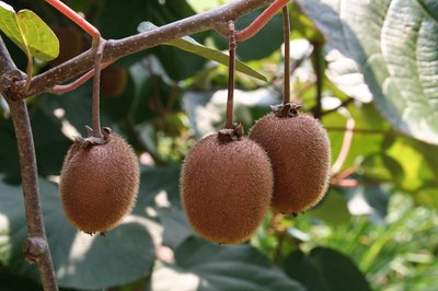 Female kiwifruit trees bear fruit.