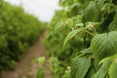 Close-up of raspberry plants growing on farm.