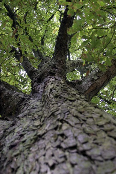 Looking up the trunk of a horse chestnut tree from the ground.