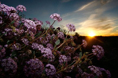Verbena flowers are drought-resistant
