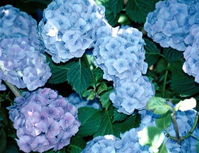 Hydrangea shrubs are supported by woody stems.