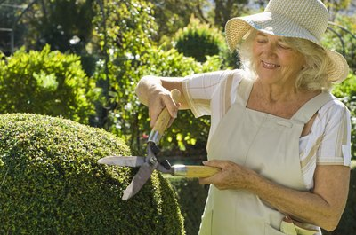 Close-up of a woman trimming a garden hedge