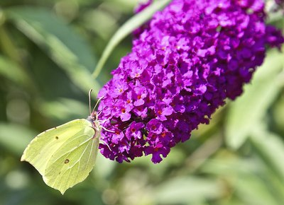 A cabbage white butterfly on the cone of a butterfly bush.