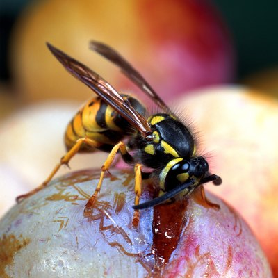 A wasp is on top of a piece of fruit.
