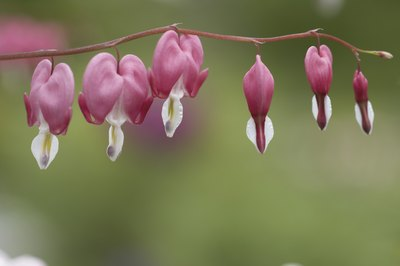 Bleeding hearts, like most cold weather flowers, bloom in the spring.