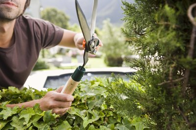 Man using hedging shears