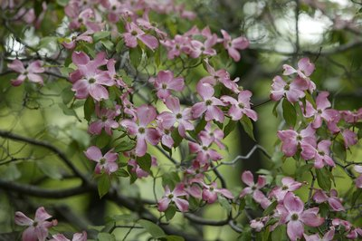 Dogwoods puff with white, pink or red flowers each spring.