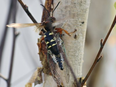 Close-up of a cicada killer wasp on a tree