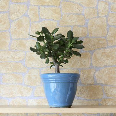 A Chinese money plant tree grows in a pot on an indoor shelf.