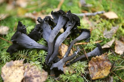 Black trumpets are found in North America during winter.