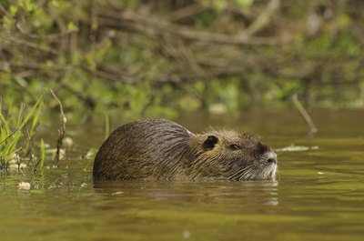 Release the nutria into the wild, if desired, if you are using a live trap