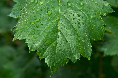 Raindrops cling to a wet leaf.