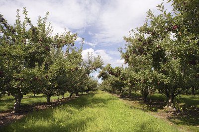 Apple trees typically have clusters of pink or white blossoms