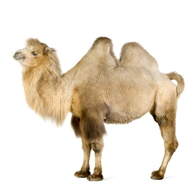 Felt and fiber fill make two humps for your camel costume.