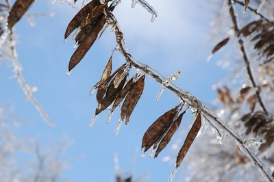 The branches of a redbud tree are covered in ice in the winter.