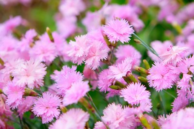 Pink carnations in a garden