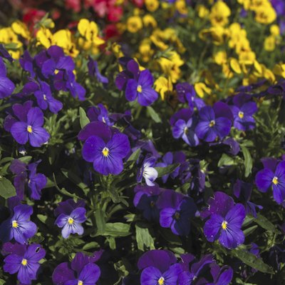 Pansies are a common fall annual.