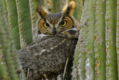 A Great-Horned owl is tucked in between the arms of a desert cactus.
