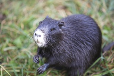Take the nutria to a local animal control center or veterinarian if you do not want to release it